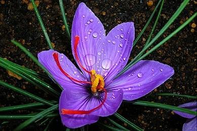 Scientifically proven Aphrodisiacs Crocus sativus